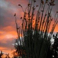 Arizona Ocotillo at Sunset