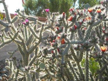 Arizona Cholla Cactus