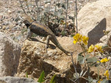 Arizona Lizard on Rock