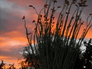 Arizona Ocotillo at Sunset