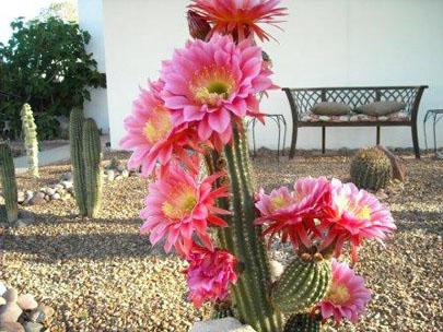 Arizona Trichocereous Cactus
